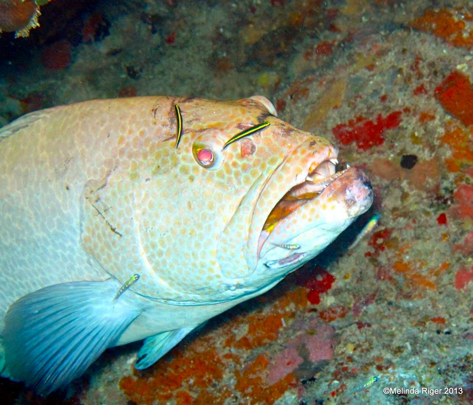 Tiger Grouper being cleaned ©Melinda Riger @G B Scuba copy