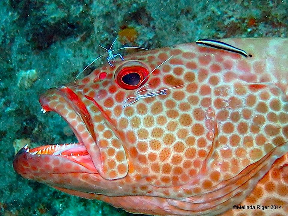 Grouper with Peterson's cleaner shrimps and wrasse - Melinda Riger @ GB Scuba