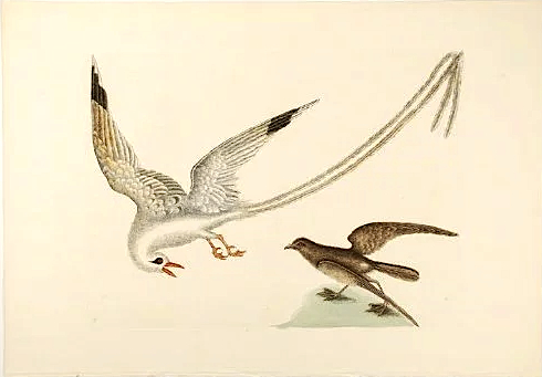 Tropicbird - Mark Catesby jpg