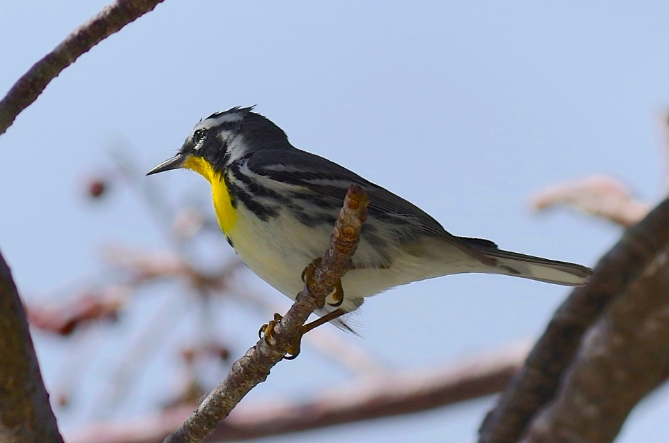 Yellow-throated Warbler, Abaco (RH)