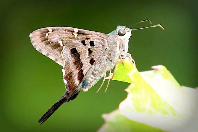 Long-tailed Skipper - Abaco Butterfly (Charmaine Albury)