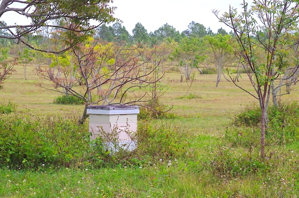 Bee Hive, Neem Farm, Abaco (Mrs RH)