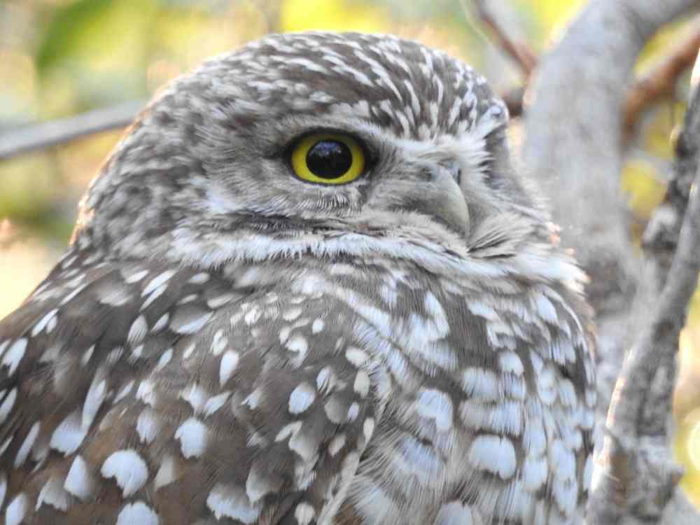 Burrowing Owl, Elbow Cay, Abaco a (Milton Harris)