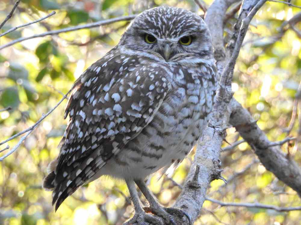 Burrowing Owl, Elbow Cay, Abaco c (Milton Harris)