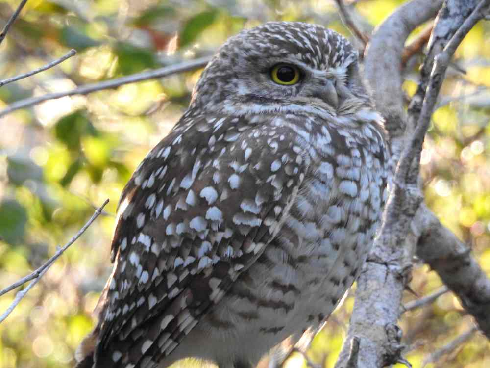 Burrowing Owl, Elbow Cay, Abaco d (Milton Harris)