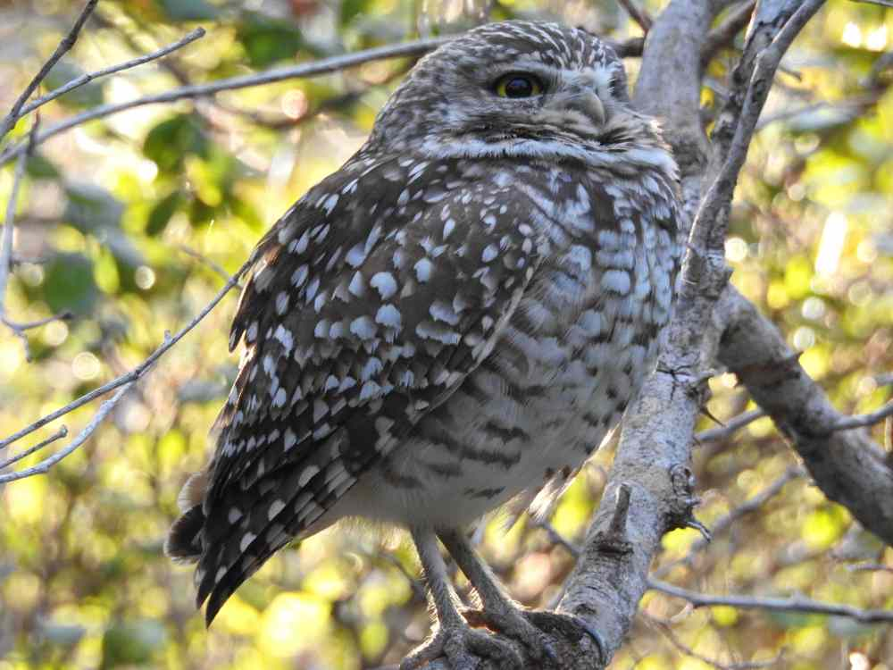 Burrowing Owl, Elbow Cay, Abaco e (Milton Harris)