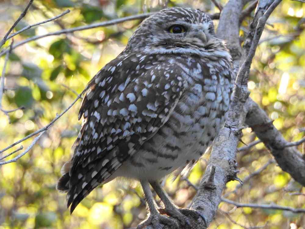 Burrowing Owl, Elbow Cay, Abaco e (Milton Harris)