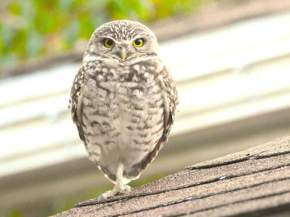 Burrowing Owl Elbow Cay, Abaco (Milton Harris) 2 sm