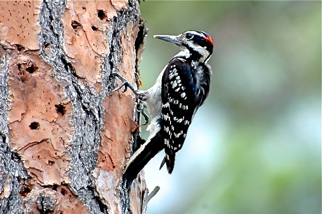 Hairy Woodpecker, Abaco (Tony Hepburn)