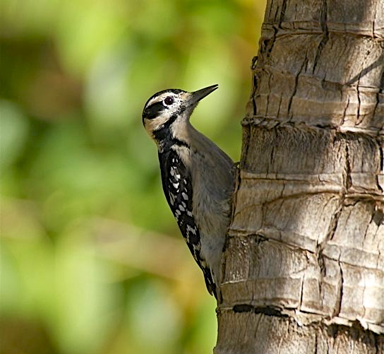 Hairy Woodpecker, Abaco (Bruce Hallett)