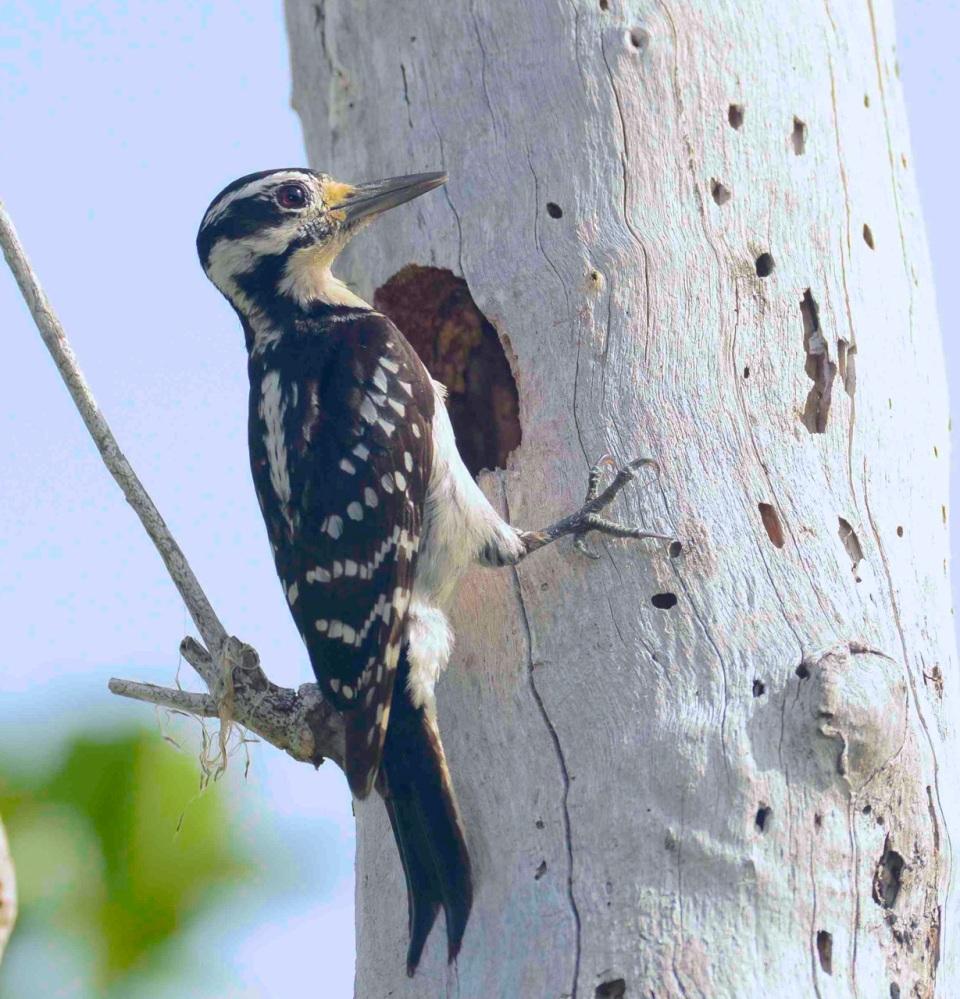 Hairy Woodpecker female. Delphi Club.Abaco Bahamas.6.13.Tom Sheley copy