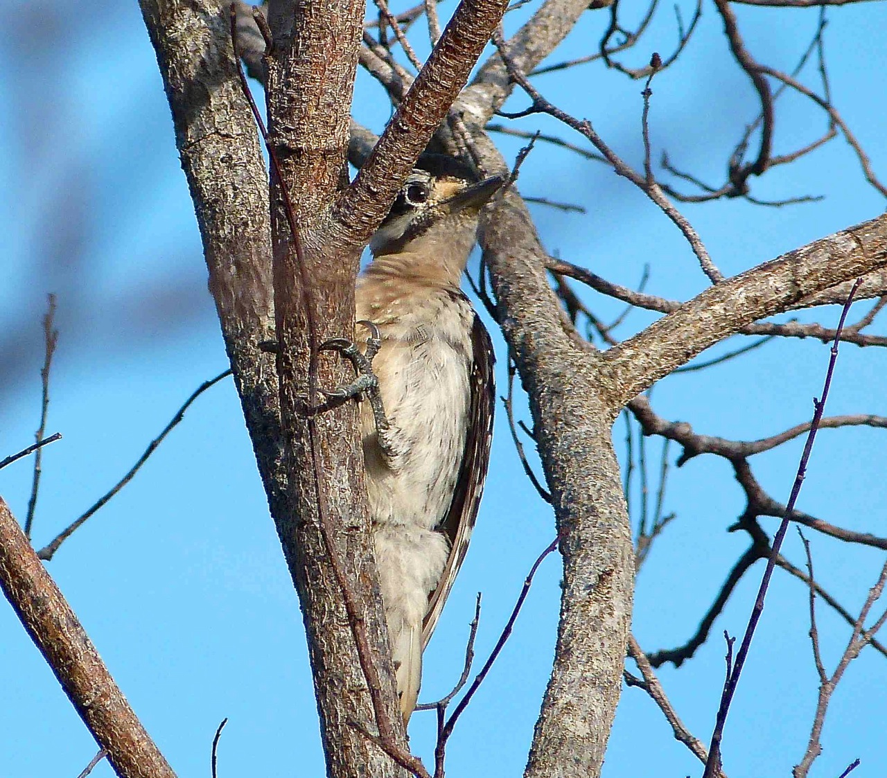 Hairy Woodpecker, Delphi, Abaco (Keith Salvesen)