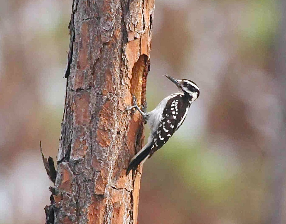 Hairy Woodpecker, Delphi, Abaco (Peter Mantle)