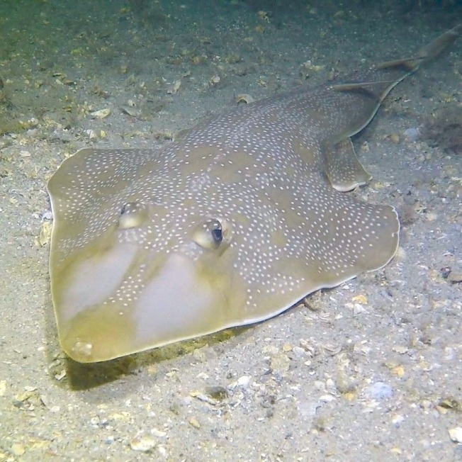 Guitarfish, Florida (Adam Rees)
