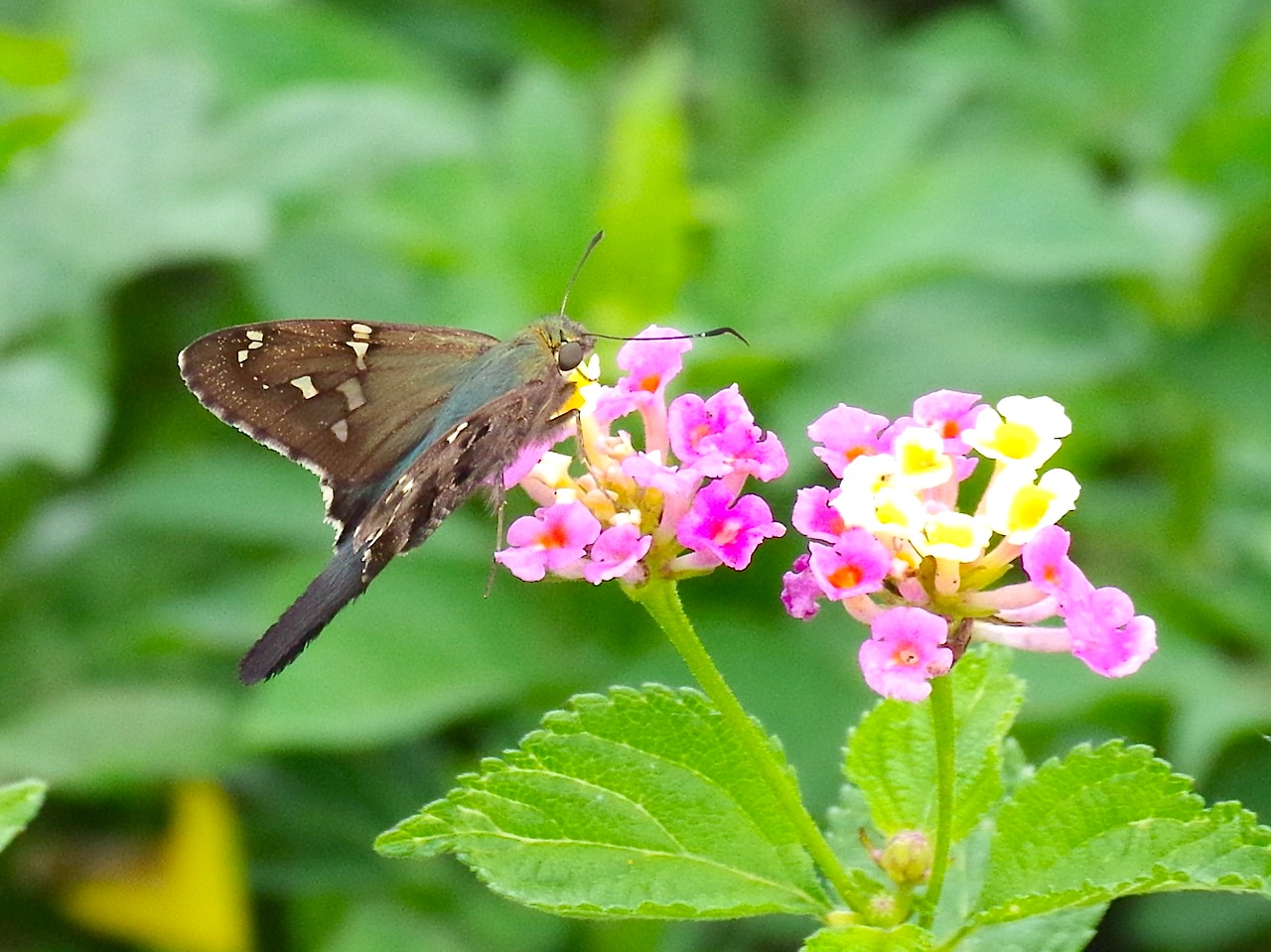 Long-tailed Skipper Butterfly, Abaco (Keith Salvesen) 1