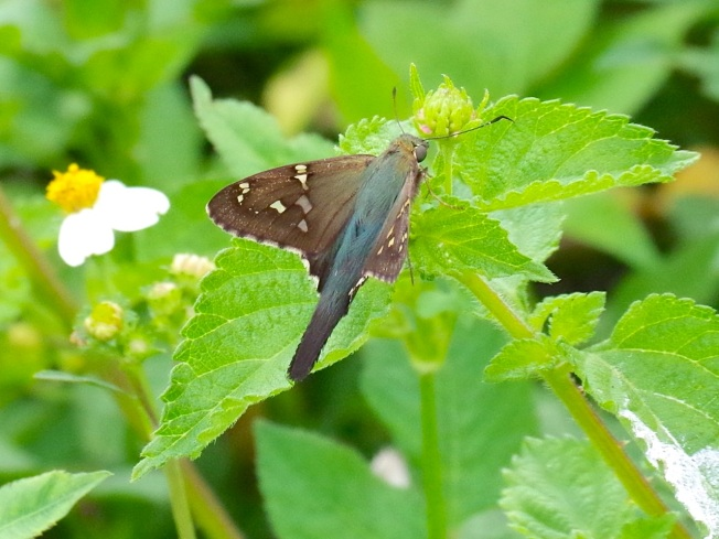 Long-tailed Skipper Butterfly, Abaco (Keith Salvesen) 3