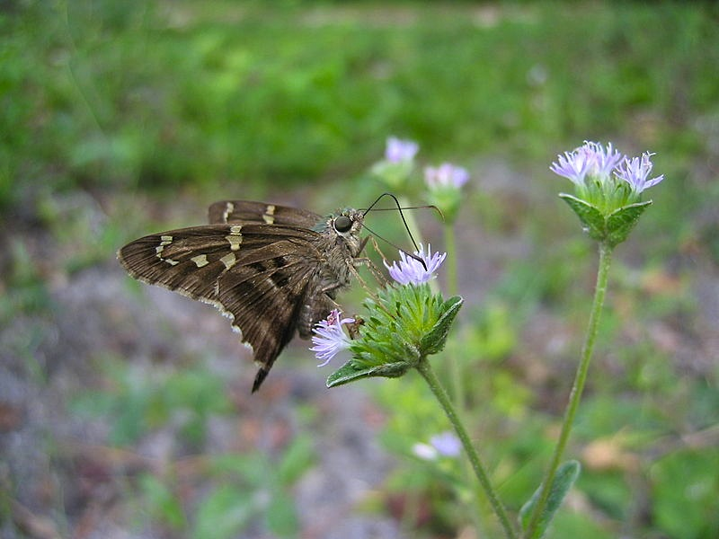Long-tailed_Skipper_Butterfly_(Urbanus_proteus)_1 (Jonathan Zander Wiki)
