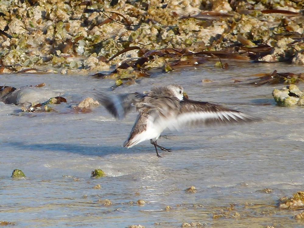 Sanderling, Delphi Beach Abaco Bahamas (Keith Salvesen)