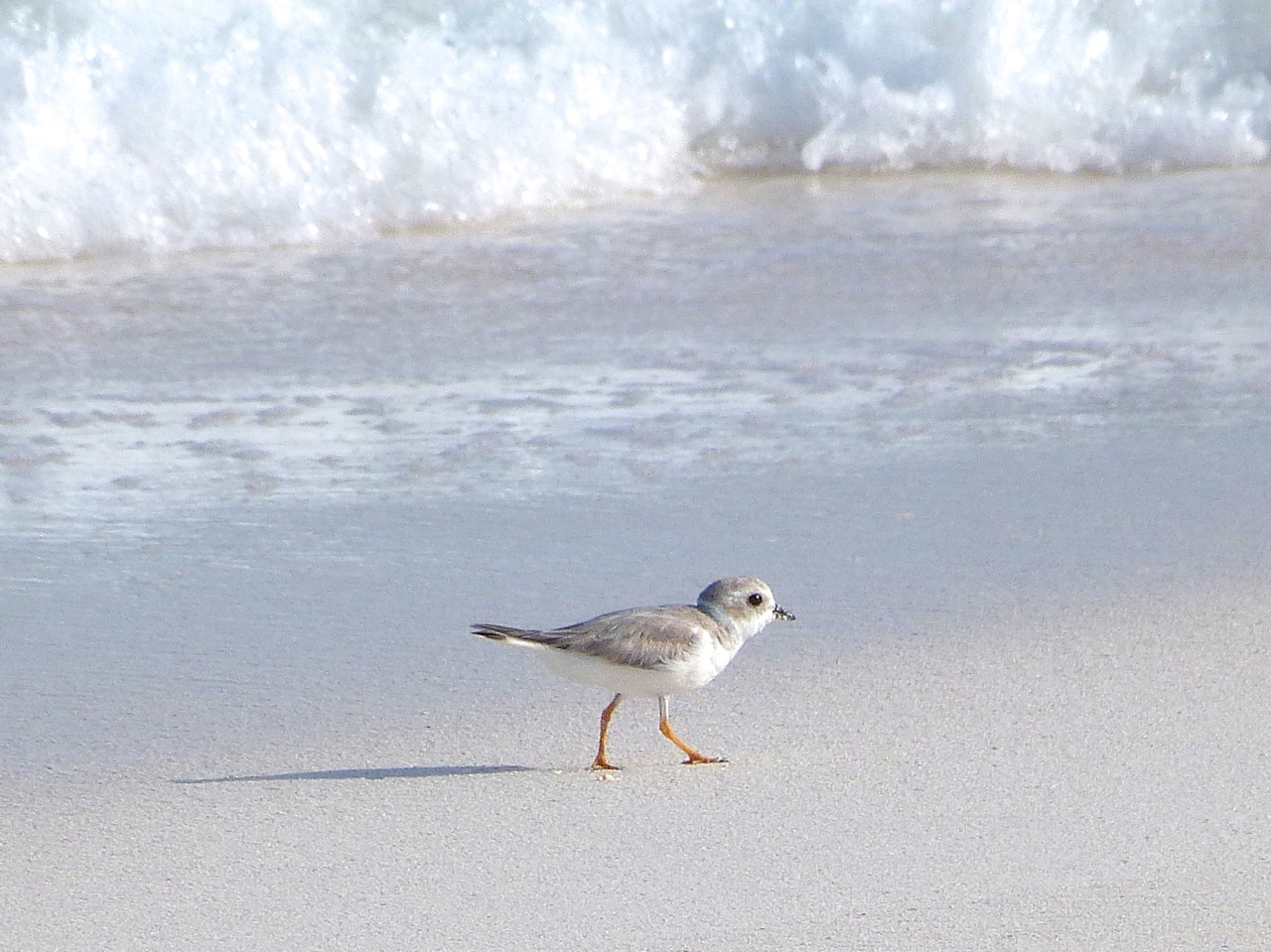 Piping Plovers, Delphi, Abaco A (Keith Salvesen)1