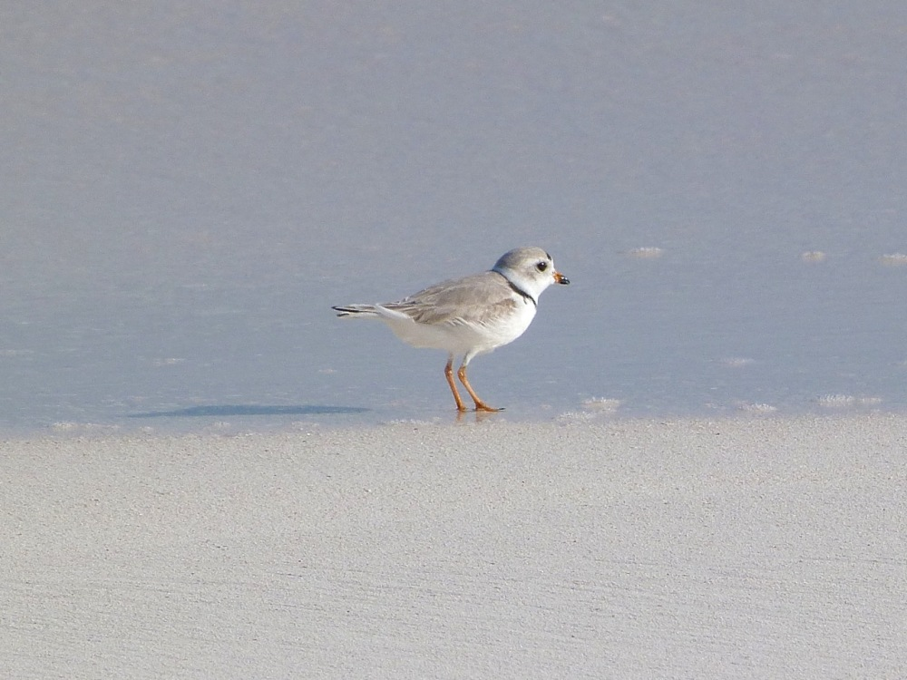 Piping Plovers, Delphi, Abaco A (Keith Salvesen)2