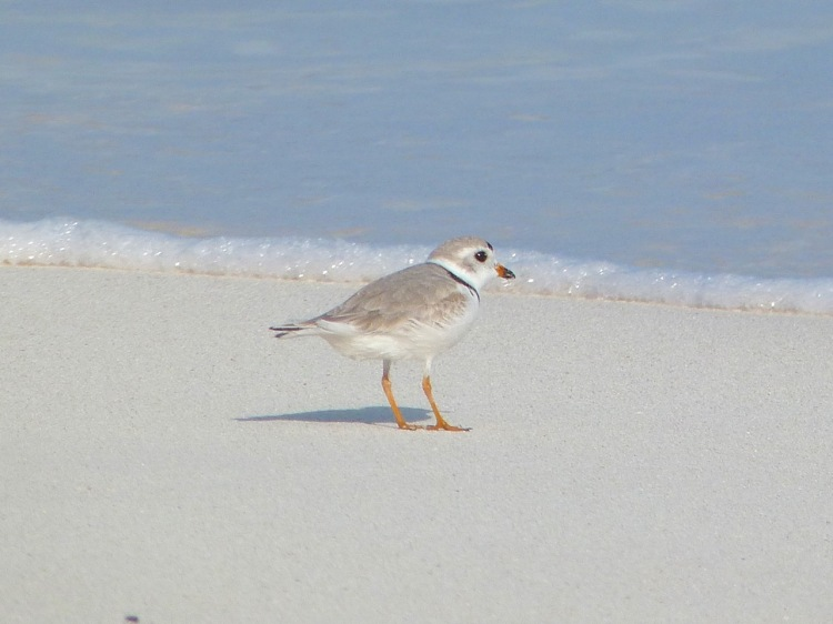 Piping Plover on Abaco Bahamas (Keith Salvesen)
