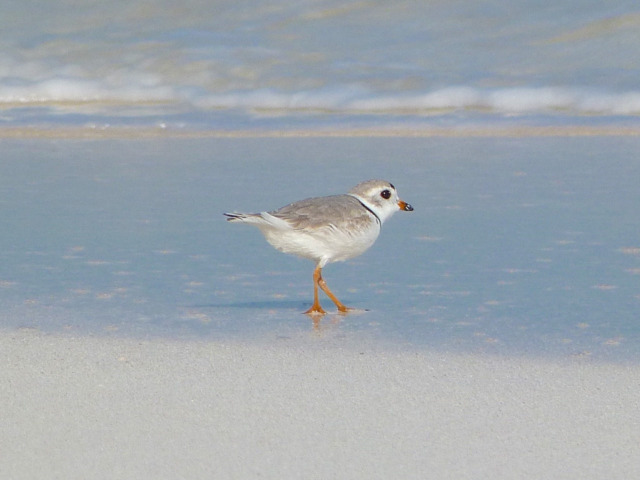 Piping Plovers, Delphi, Abaco A (Keith Salvesen)4