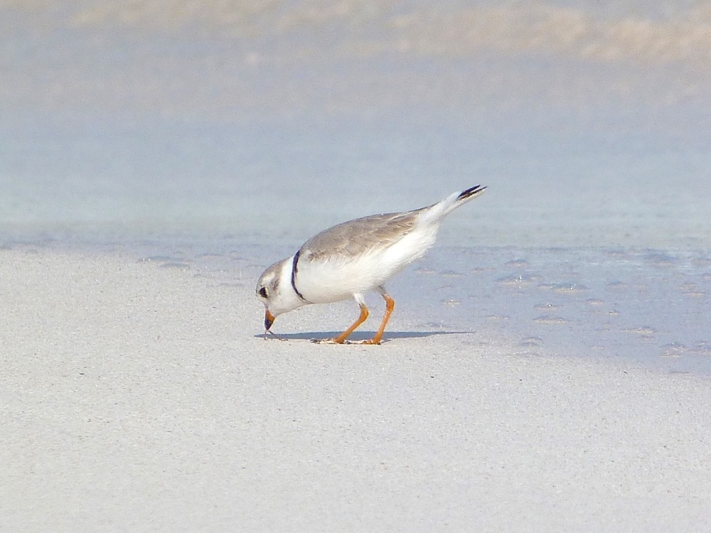 Piping Plovers, Delphi, Abaco A (Keith Salvesen)5