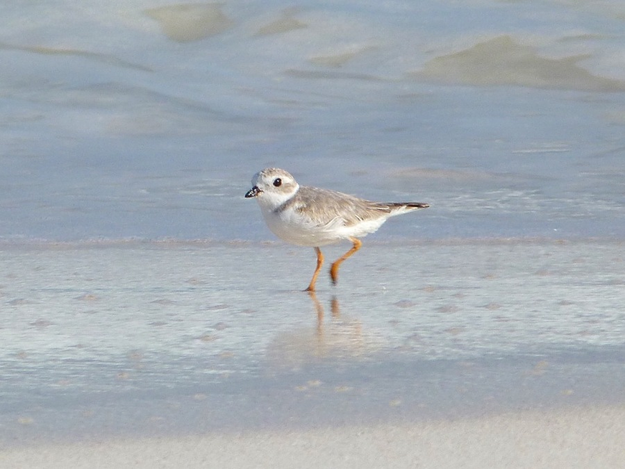 Piping Plovers, Delphi, Abaco A (Keith Salvesen)6