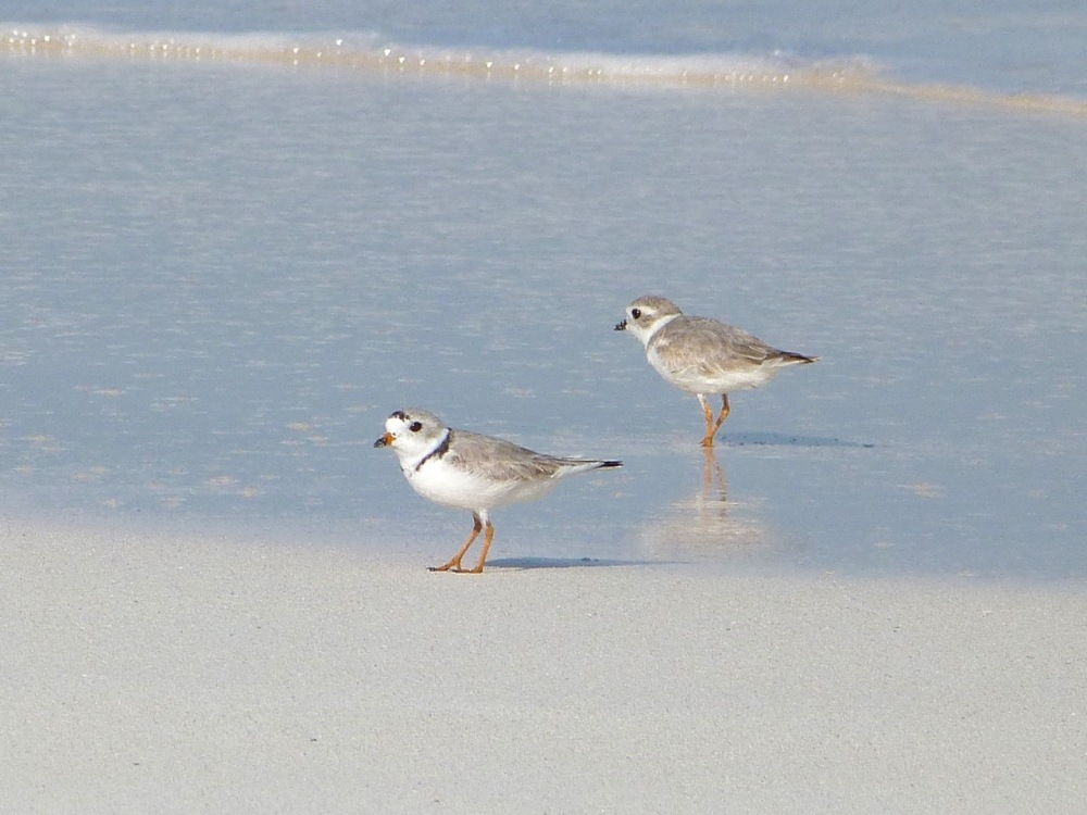 Piping Plovers, Delphi, Abaco A (Keith Salvesen)7