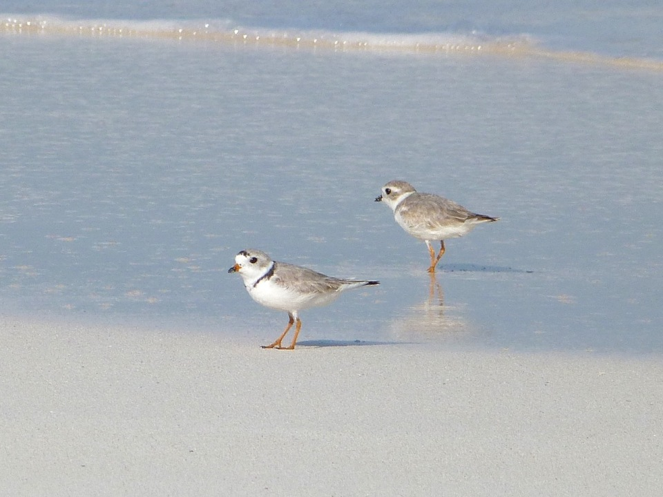Piping Plover, Delphi, Abaco (Keith Salvesen)