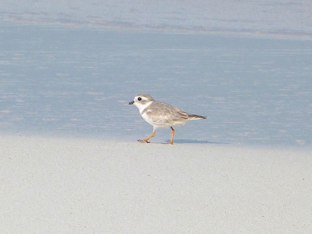Piping Plovers, Delphi, Abaco A (Keith Salvesen)8
