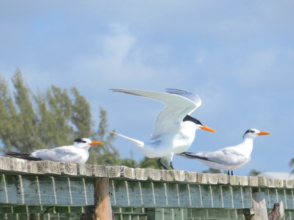 Royal Terns Cherokee Abaco (Keith Salvesen) 2