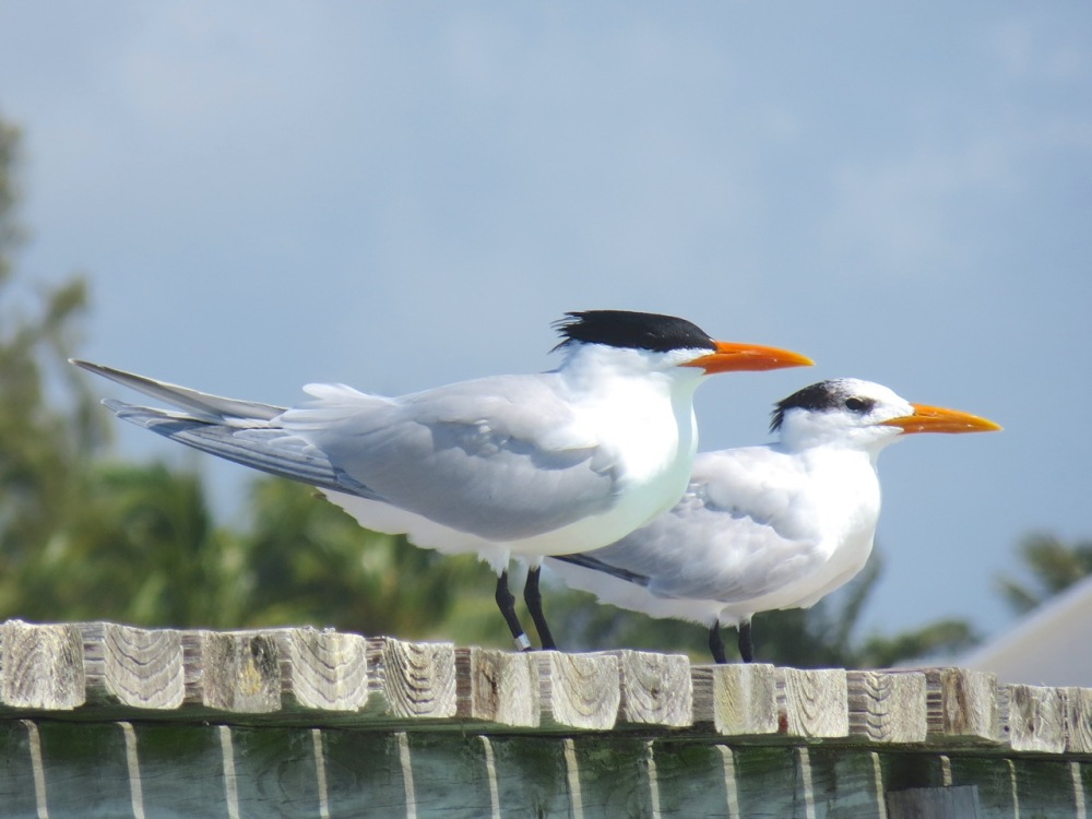Royal Terns Cherokee Abaco (Keith Salvesen) 3