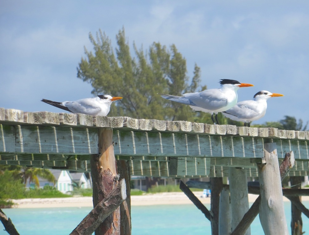 Royal Terns Cherokee Abaco (Keith Salvesen) 4