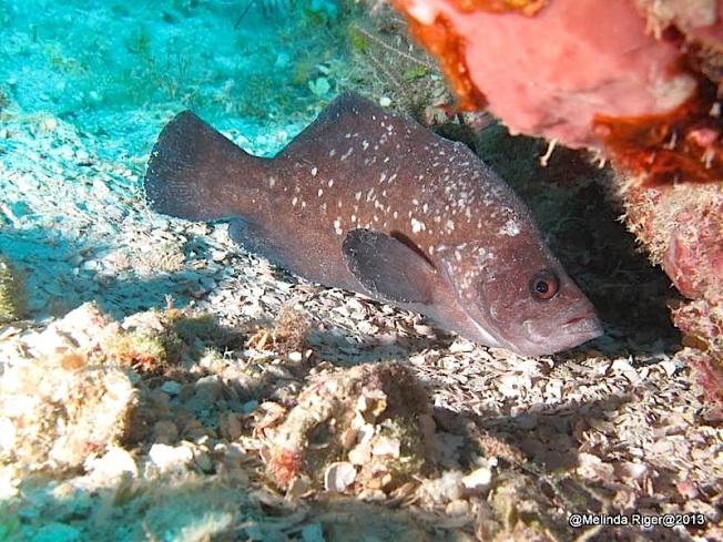 Soapfish ©Melinda Riger @ GB Scuba