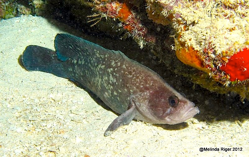 Soapfish ©Melinda Riger @ Grand Bahama Scuba