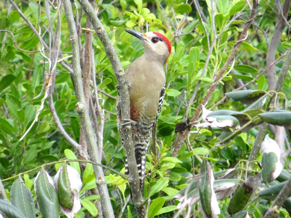 West Indian Woodpecker, Delphi, Abaco (Keith Salvesen)1