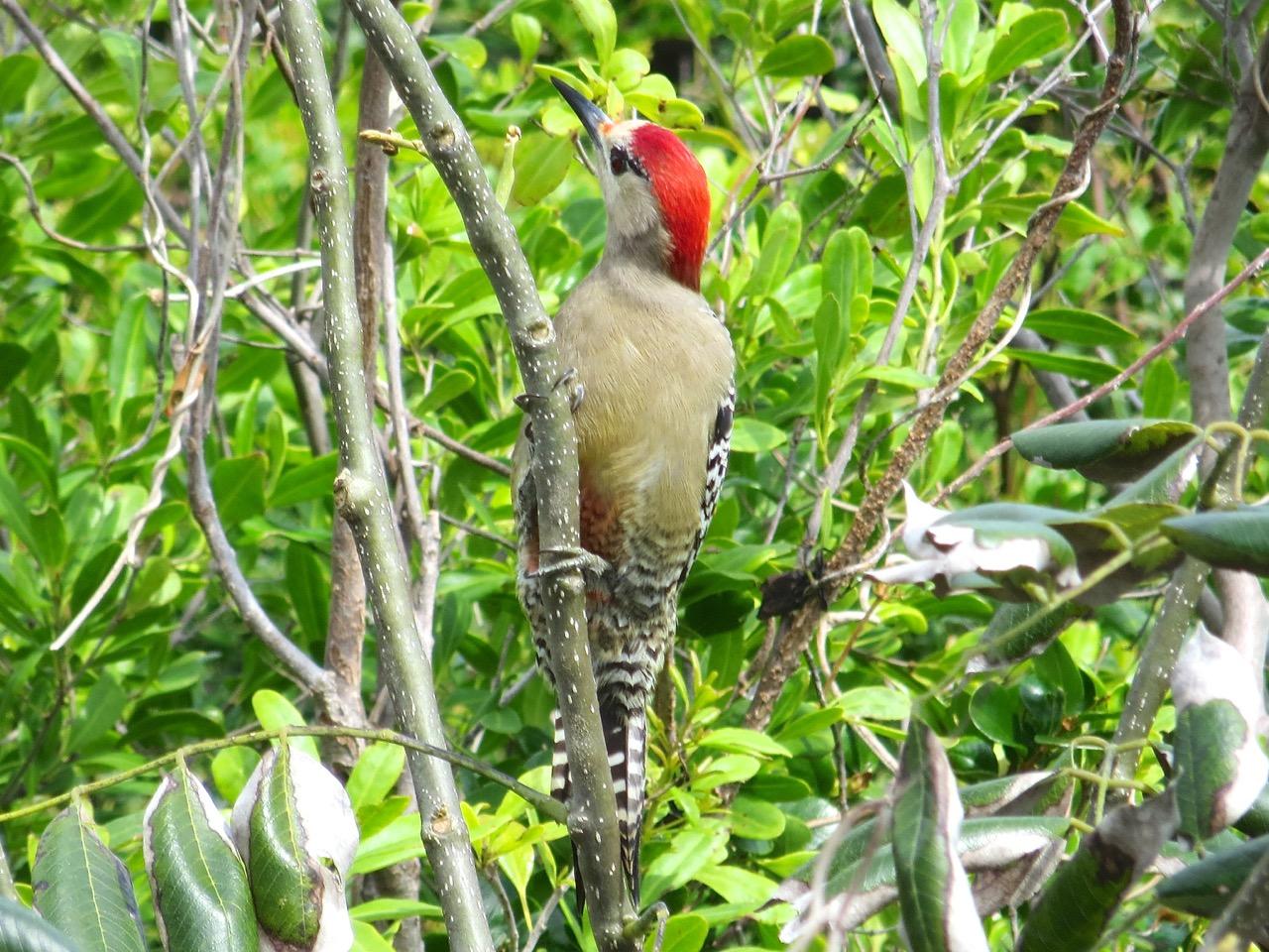 West Indian Woodpecker, Delphi, Abaco (Keith Salvesen)2