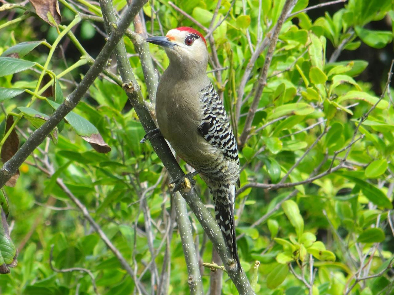 West Indian Woodpecker, Delphi, Abaco (Keith Salvesen)3