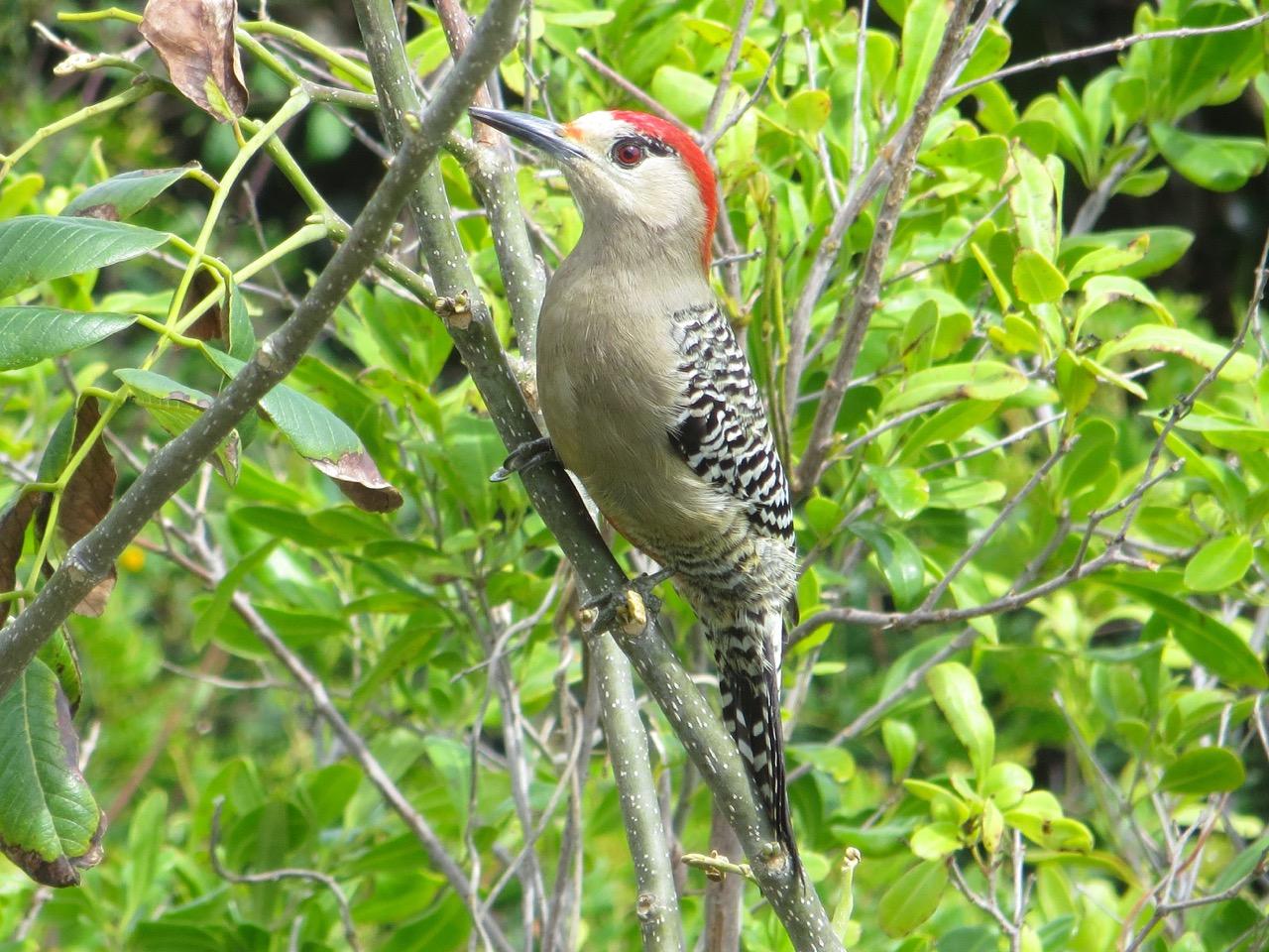 West Indian Woodpecker, Delphi, Abaco (Keith Salvesen)4