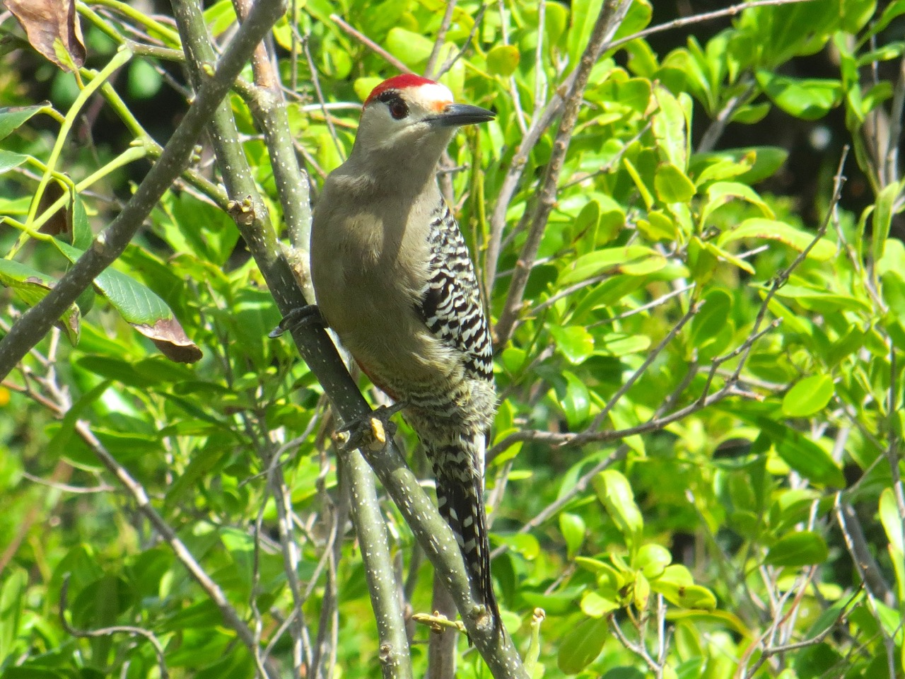West Indian Woodpecker, Delphi, Abaco (Keith Salvesen)5