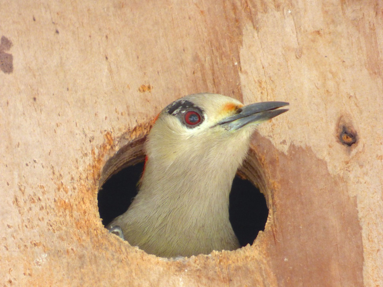 West Indian Woodpecker, Delphi, Abaco (Keith Salvesen)7