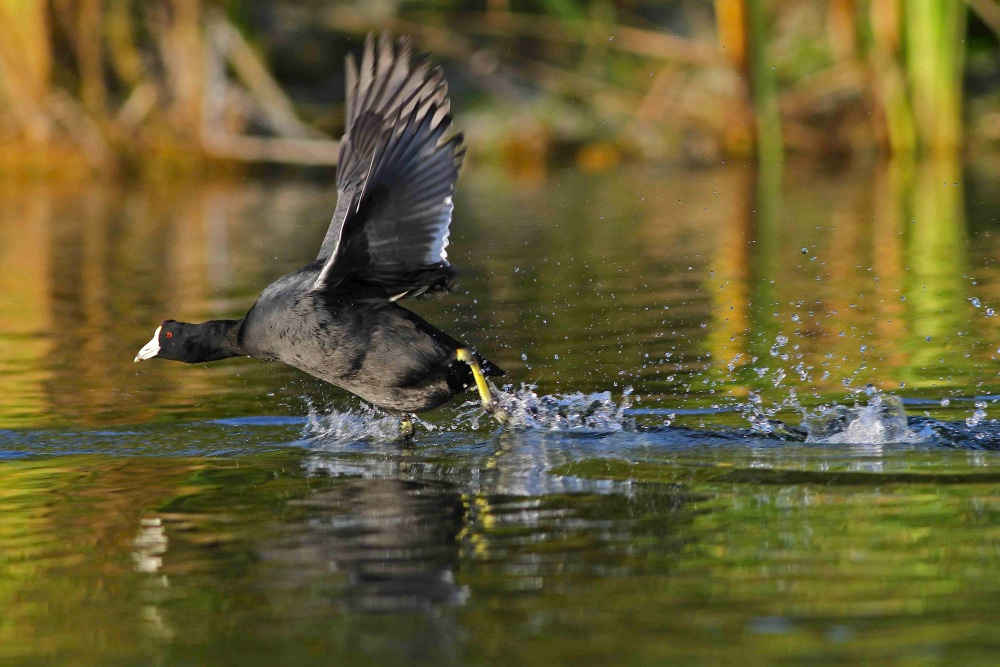 American Coot - Bahamas - Great Abaco - Gerlinde Taurer