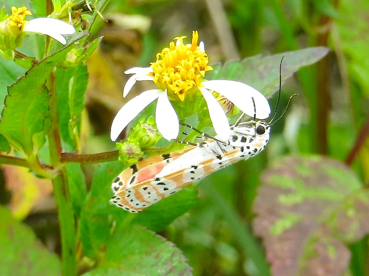 Bella Moth, Neem Farm, Abaco (Keith Salvesen) 1