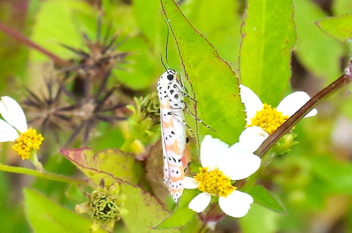 Bella Moth, Neem Farm, Abaco (Keith Salvesen) 2