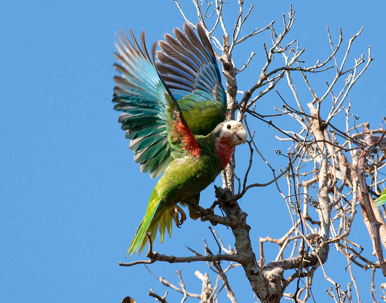 Abaco (Cuban) Parrot, Delphi, Abaco (Craig Nash)