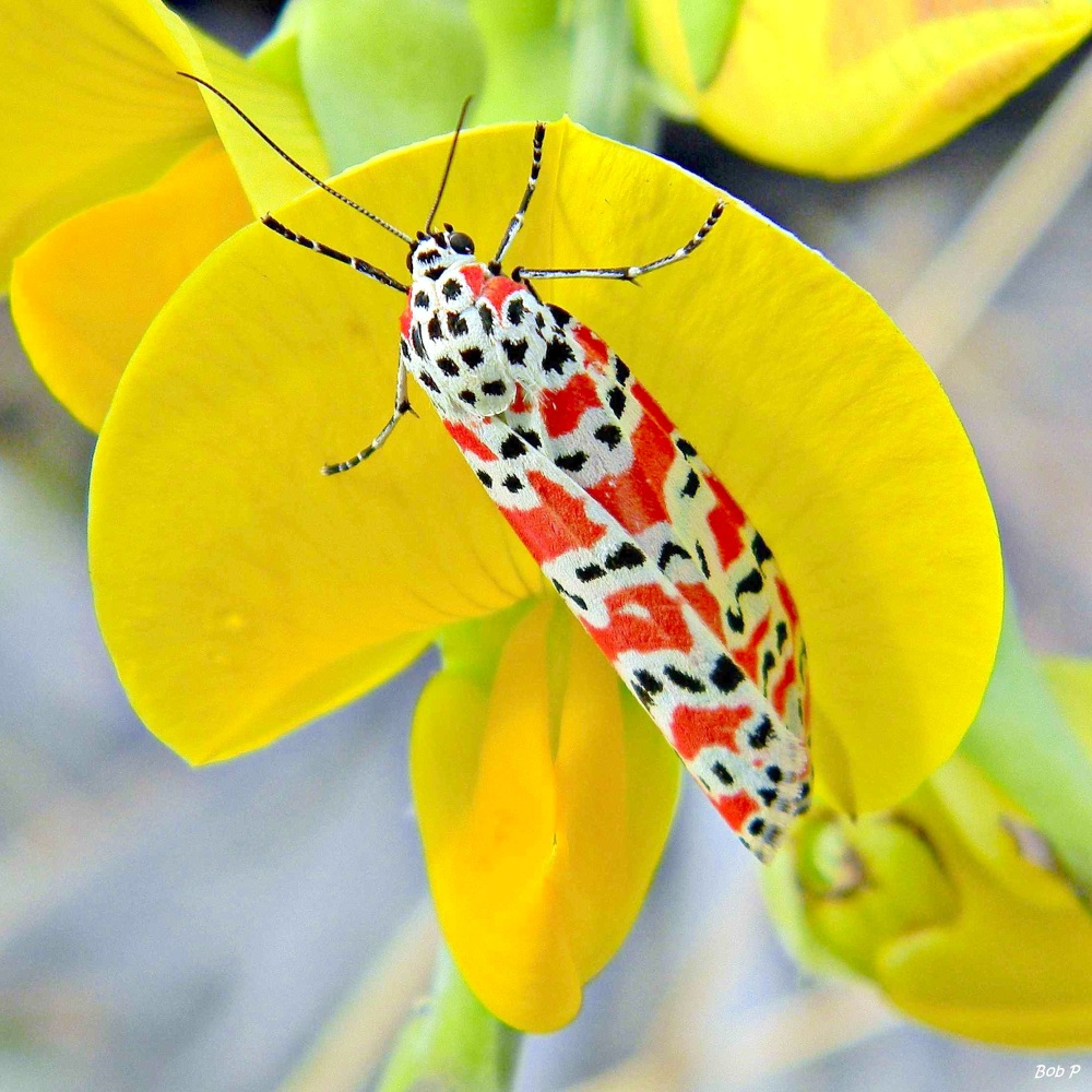Day-flying_Bella_Moth_(Utetheisa_ornatrix) on Rattlebox Blossom (Bob Peterson, Florida)