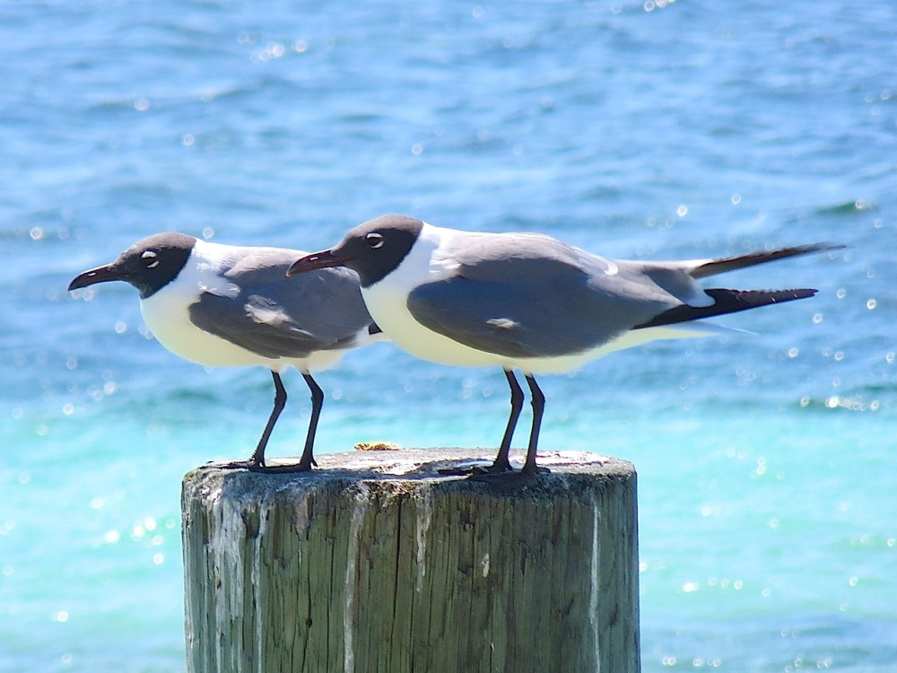 Laughing Gulls, Sandy Point, Abaco (Keith Salvesen)