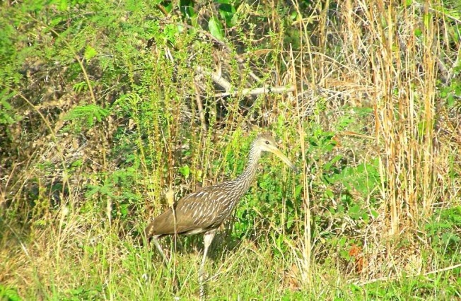 Limpkin Gilpin Point, Abaco (Troy Mailis)