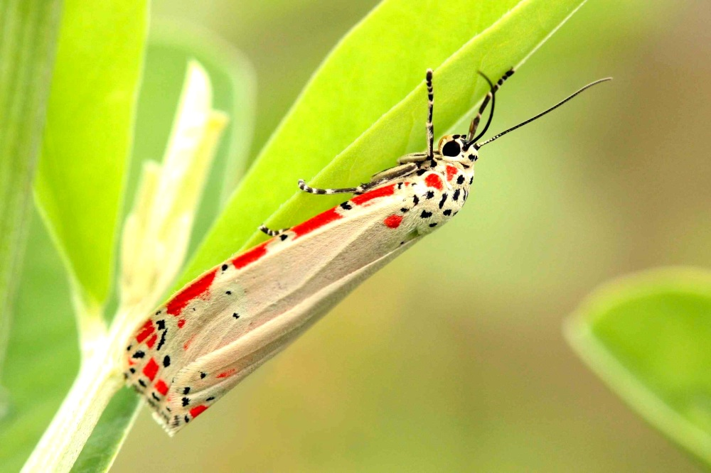 Ornate_moth_(Utetheisa_ornatrix) Charles J Sharp wiki